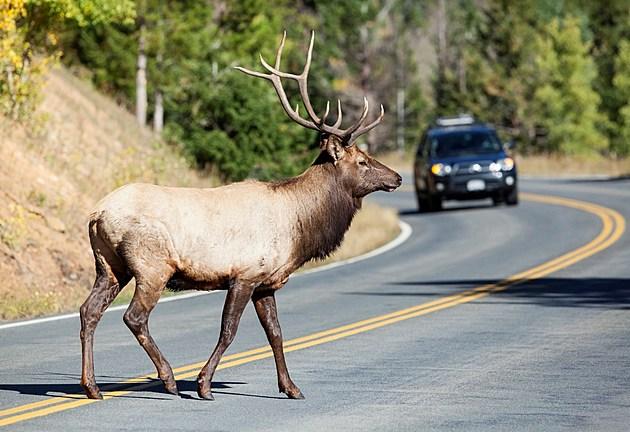 Elk Crossing the Road - Oncoming Car