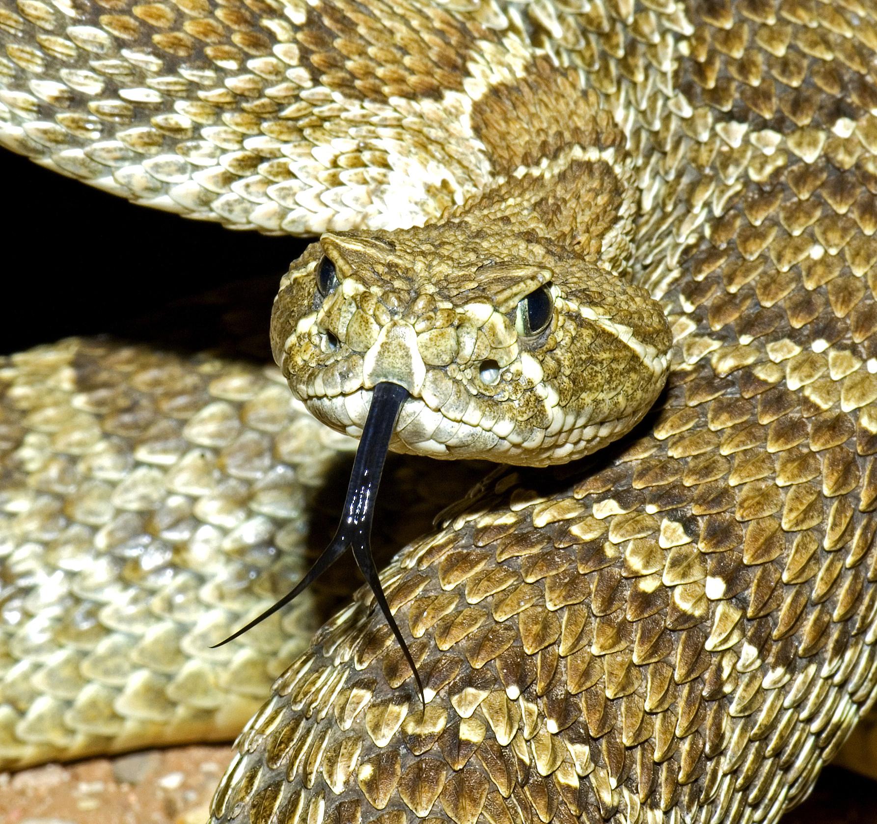 A prairie rattlesnake flicking its tongue