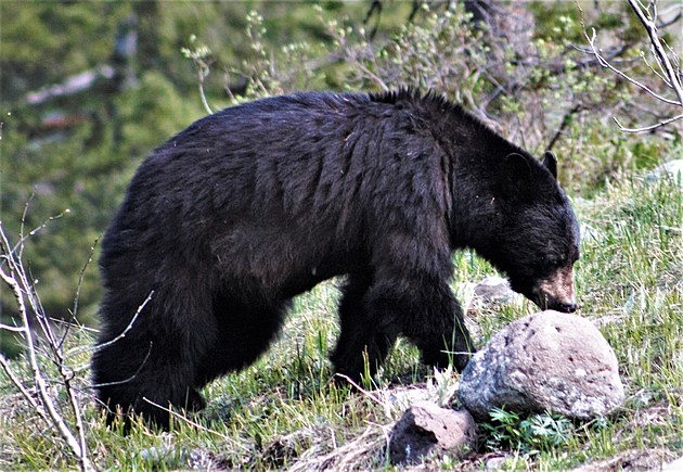 Wildlife From Yellowstone and Grand Teton National Parks