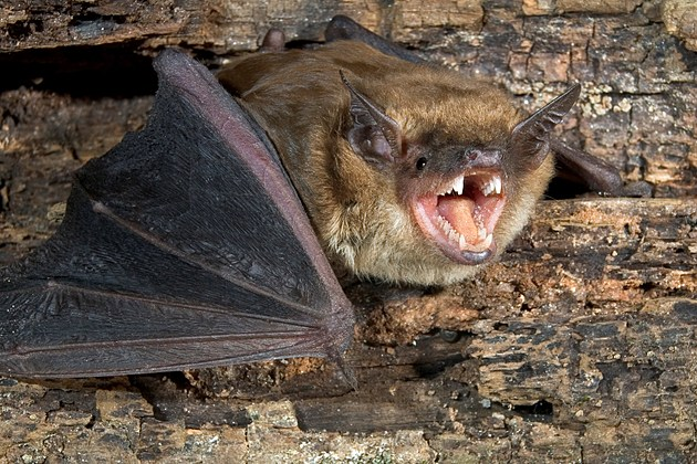Bat- Rabies Mesa County ThinkstockPhotos-149070916
