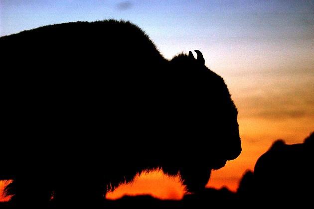 Arizona Grand Canyon Bison