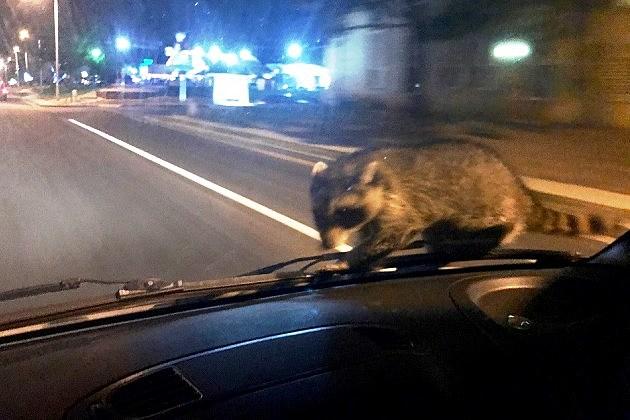 Colorado Springs Police - Raccoon