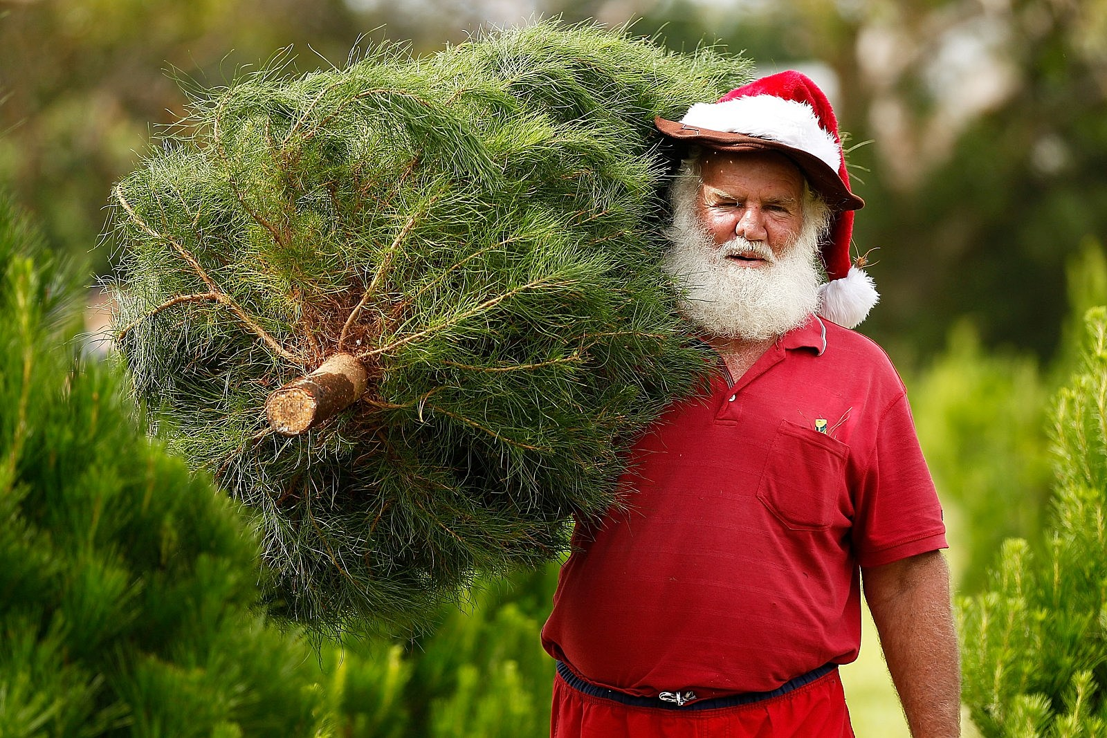 Man Dressed as Santa with Fresh Cut Christmas Tree
